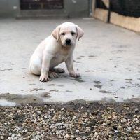 cucciolo labrador biondo provincia di Torino