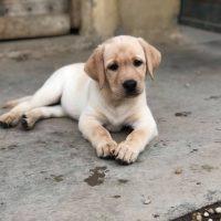 cucciolo labrador biondo Piemonte