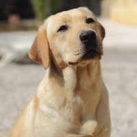 Labrador biondo Torino provincia