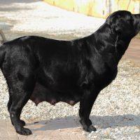 Cucciolata labrador nero provincia Torino