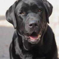 Labrador nero provincia Torino